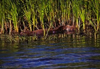wildlife refuge, Cameron, Louisiana, alligators