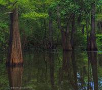 swamp, water, bayou, cypress, wildlife