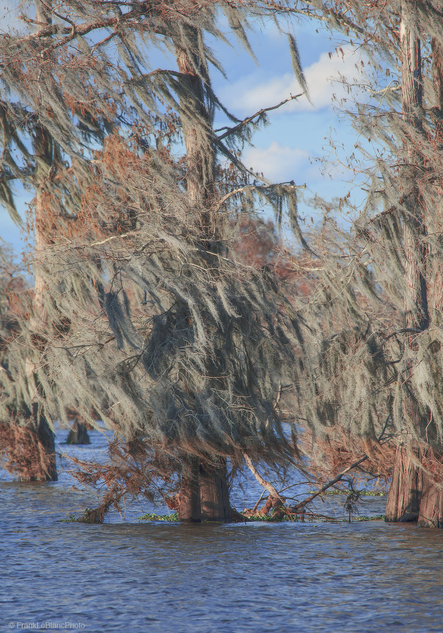 swamp, cypress, lake, moss, bromeliad, trees, epiphyte, photo