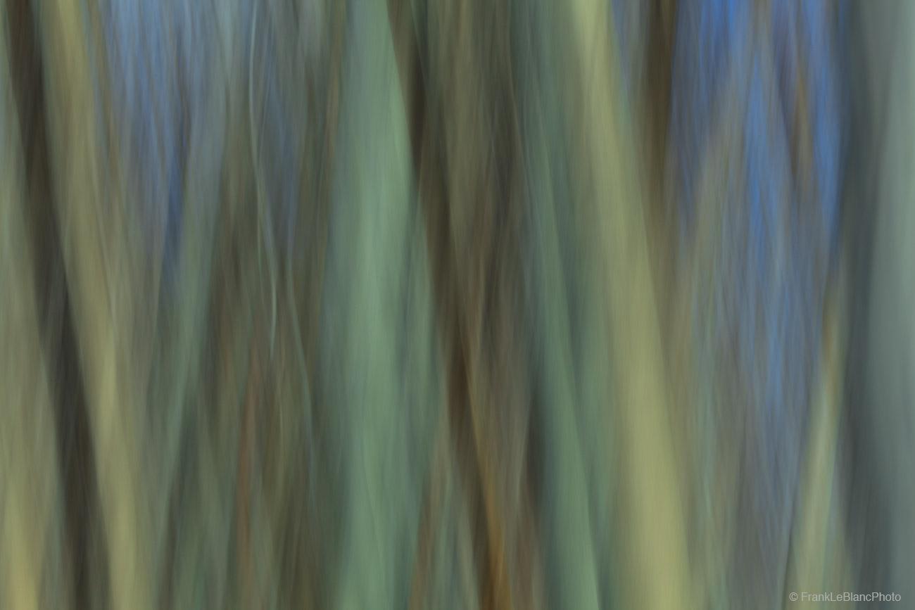 Aspen tree grove near Bishop, California