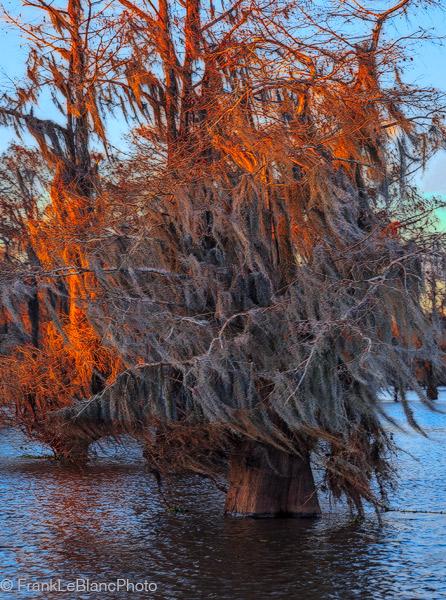 swamp, cypress, lake, sunset, moss, photo