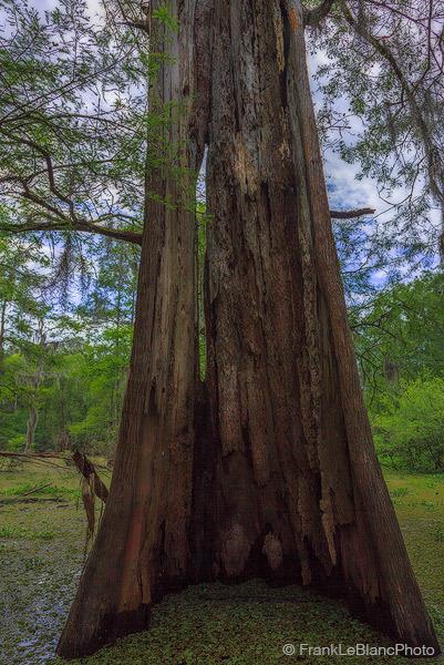 swamp, water, bayou, cypress, wildlife, river, mississippi, flood, plain, delta, alluvial