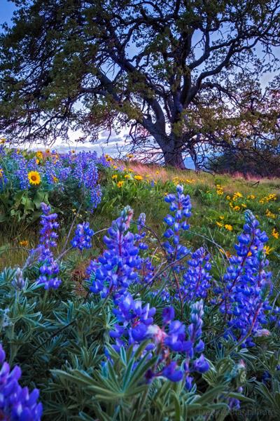 wildflowers, Columbia Hills, Washington, photo