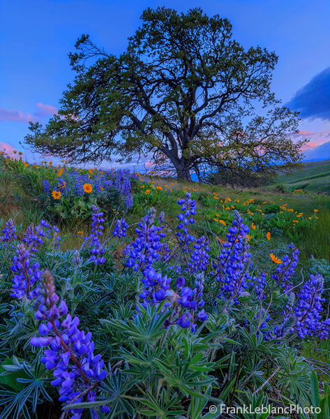 Rolling hills covered with Lupine and Balsam Root flowers and beautiful oak trees.