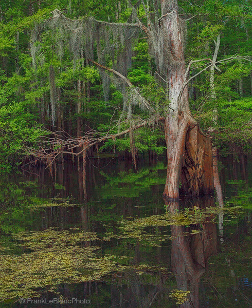 swamp, water, bayou, cypress, wildlife, photo