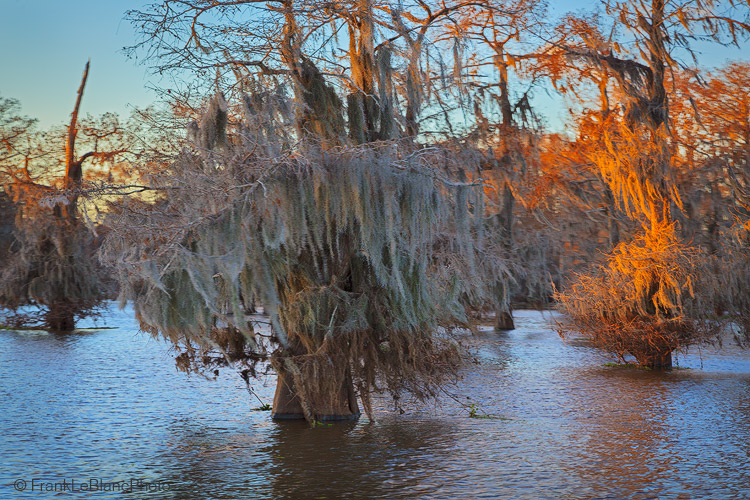 February 24th and the cypress trees have produced flowers, which show in dense reddish brown clusters. These are old trees with...