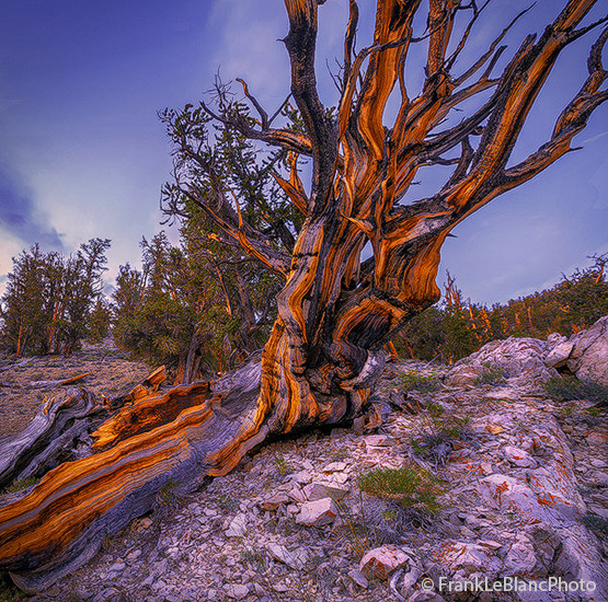 Bristlecone Pine in the Schulman Grove of the Ancient Bristlecone Pine Forest in the White Mountains of California and Nevada...