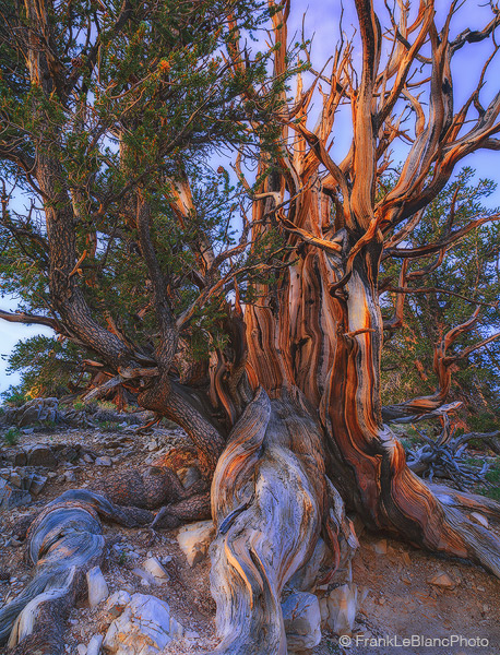 california, mountains, bristlecone, pine, forest, hiking, wilderness, photo